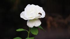 Valldemosa (Halexey) Tags: valldemosa majorca islasbaleares illesbalears balearicislands summer village pueblo nature naturaleza bee abeja flor flower olympus omd10