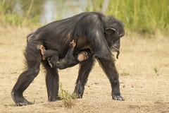 Chimpansee - Safaripark Beekse Bergen - Hilvarenbeek (Jan de Neijs Photography) Tags: dierentuin zoo tamron tamron150600 150600 dierenpark nl holland thenetherlands dieniederlande diergaarde g2 animal dier beeksebergen safaripark safariparkbeeksebergen hilvarenbeek chimpansee aap ape noordbrabant sbb baboon