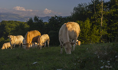 Les Blondes d'Aquitaine (MyLavie) Tags: vache blondedaquitaine monein bearn pyrenees myla pentax mylenelavie