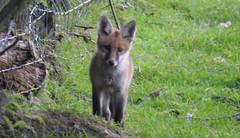 Young Fox (blue33hibiscus) Tags: animal canine mammal cub fox kent