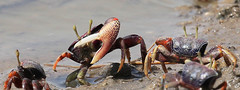 Crabs in Senegal (lotusblancphotography) Tags: senegal sénégal faune wildlife animal crabe crab water eau