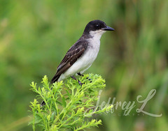 Perched (J_Dubb94) Tags: easternkingbird birds bombayhook wildlife feathers grass outdoors