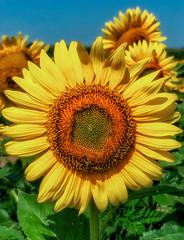 sunflower_072918_22 (Linda Moll Walker) Tags: sunflowers elverson pa summer
