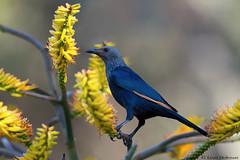 Red-winged Starling (female) (leendert3) Tags: leonmolenaar southafrica krugernationalpark wildlife nature birds redwingedstarling coth5 ngc npc