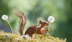 red squirrel holding dandelion stalk (Geert Weggen) Tags: nature closeup flower macrophotography dandelion image extremecloseup growth plant photography vitality springtime nopeople lightnaturalphenomenon summer singleobject defocused environment formalgarden meadow concepts groupofobjects healthylifestyle selectivefocus daydreaming flowerhead vibrantcolor tranquilscene uncultivated bladeofgrass outdoors horizontal season wildflower beautyinnature blossom conceptstopics fragility freshness seed squirrel red animal stem stalk bispgården jämtland sweden geertweggen geert weggen ragunda hardeko