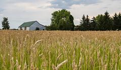 Wheat Kings & Pretty Things (Kevin Tataryn) Tags: farm wheat crops summer grow food nikon d500 1755 canada