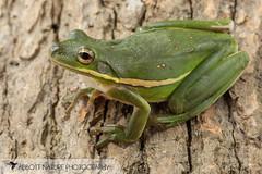 American green tree frog (Hyla cinerea) 20180708_2344 (Abbott Nature Photography) Tags: animals amphibiansamphibia frogsandtoadsanura hylidaetruefrogs neobatrachia organismseukaryotes vertebratavertebrates gordo alabama unitedstates us