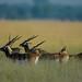 Black Bucks, Tal Chapar