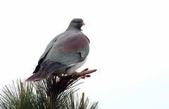 Wood pigeon - kereru (Maureen Pierre) Tags: newzealand native bird fujifilmxt2 victoriapark christchurch woodpigeon kereru