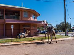 Camels at Australian Hotel Burke St Boulia Queensland P1030412ab (john.robert_mcpherson) Tags: camels australian hotel burke st boulia queensland