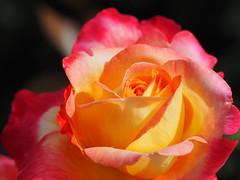 Blume Kwiat Rose (arjuna_zbycho) Tags: różadlaciebie róża dla was kochani roseforyou rosefürdich rosepourvous rose rosas roses róże rosu rosae flower kwiat blume makrofoto macrophoto rosarium rosengarten الورد austria badenbeiwien doblhoffpark biosphaerenparkwienerwald lovers gülsevenler gül trandafir trandafiri زهرة