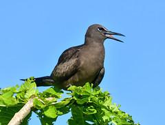 Brown Noddy (dorneyphoto) Tags: elements seychelles birdisland brownnoddy nikonflickraward