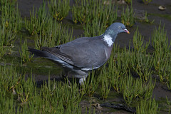 Woodpigeon. (stonefaction) Tags: woodpigeon birds nature wildlife eden estuary fife scotland st andrews balgove bay