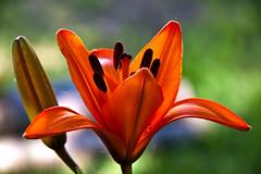 Luscious Lily 8 (LongInt57) Tags: lily flower blossom bloom bulb stargazer bud stamens pollen stigma pistil petals orange green nature garden kelowna bc canada okanagan