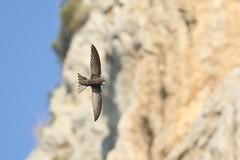 Pallid Swift (apus pallidus) (mrm27) Tags: swift pallidswift apus apuspallidus lafalconera garraf catalonia catalunya barcelona spain