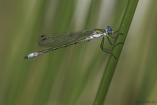 Lestes dryas. Male