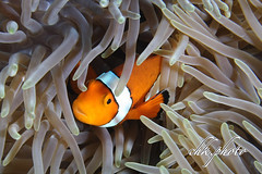 Mug Diving Kubu Tulamben Bali (chk.photo) Tags: diving scuba underwater dive macro ocean tauchen indonesia animal tier bali