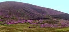 Irlande - Knockmealdown Mountains (AlCapitol) Tags: irlande knockmealdownmountains rhododendrons nikon d810 lac reflet reflection mountains