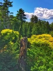 Maine.... (Sherrianne100) Tags: treestump trees coastalmainebotanicalgardens botanicalgardens boothbay maine
