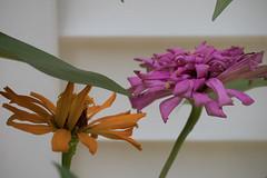 jdy217XX20180805a6834Bias-0.3 stops.jpg (rachelgreenbelt) Tags: ghigreenbelthomesinc orderasterales usa subfamilyasteroideae greenbelt northamerica midatlanticregion familyasteraceae eudicots asteridsclade campanulidsclade supertribehelianthodae maryland americas zinniaelegans magnoliophyta asterfamily asteraceae asteraceaefamily asterales asteralesorder asterids asteroideae asteroideaesubfamily asters compositaefamily compositefamily daisyfamily floweringplants heliantheae heliantheaetribe helianthodae helianthodaesupertribe spermatophytes sunflowerfamily tribeheliantheae
