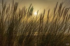 A7ii-1897 (Eljee-) Tags: rotterdam maasvlakte strand helmgras gras sunset zonsondergang zand sky grass zee sea landscape landschap