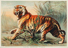 Royal bengal tiger from Johnson's household book of nature (1880) by John Karst (1836-1922). (Free Public Domain Illustrations by rawpixel) Tags: animal animals antique asian bengal bengaltiger bookofnature canivore carnivore carnivorous drawn feline fierce forest handdrawing handdrawn hunter john johnkarst johnsonhouseholdbookofnature johnsonshouseholdbookofnature jungle karst life nature old publicdomain royal royalbengaltiger sketch tiger vintage wild wildlife