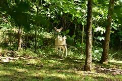 Deer-Fallow_1795e (Porch Dog) Tags: 2018 garywhittington nikond750 nikkor200500mm wildlife nature lbl landbetweenthelakes betweentherivers kentucky