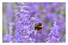 Lavender and the bee! (Nina_Ali) Tags: purple nature flora 7dwf bokeh depthoffield august2018 summertime lavenderandthebee ninaali nina ali