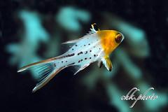 Underwater Aegypt 2017 (chk.photo) Tags: diving scuba underwater dive macro ocean tauchen