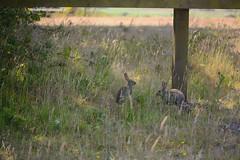Oryctolagus cuniculus (schnappischnap) Tags: rabbit rabbits bunny bunnies
