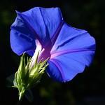 Etre fleur bleue thumbnail