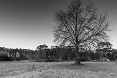 Rural Twilight in Black and White (Merrillie) Tags: landscape sunset gumtree australia rural hill newsouthwales dusk trees country scenery tree cows acreage monochrome gresford farm twilight blackandwhite countryside property