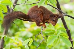 Is That a Nut Down There? (PuffinArt) Tags: eurasianredsquirrel sciurusvulgaris squirrel esquilo red vermelho nikon d300 nikkor 18200mm vr puffinart vandamalvig