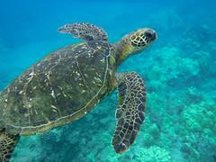 Maui Sea Turtle (Agrestic13) Tags: underwater snorkeling turtles sea ocean maui hawaii wailea beach fuji xp120