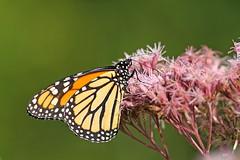 Monarque / Monarch (alainmaire71) Tags: butterfly danainae danausplexippus monarque monarch nature quebec canada eupatoire eupatoiremaculée eupatoriummaculatum