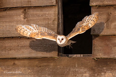 Barn Owl - Just leaving the barn 501_2834.jpg (Mobile Lynn) Tags: owls barnowl birds nature bird fauna strigiformes tytoalba wildlife nocturnal coth specanimal coth5 ngc npc