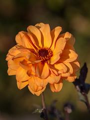 Orange Dahlia (S Marwood) Tags: elements dahlia macro bright orange flower bloom garden horticulture flora yorkshire helmsley