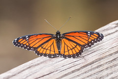 Viceroy Butterfly 500_8068.jpg (Mobile Lynn) Tags: nature butterfly insects fauna insect wildlife fortmyers florida unitedstates us