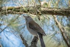 Grey Shrike Thrush (Beckett_1066) Tags: nepean hawkesbury shrike greyshrikethrush thrush river