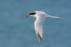 Roseate Tern (Tim Melling) Tags: sterna dougallii roseate tern flying flight northumberland timmelling