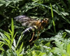Wasp_SAF4257 (sara97) Tags: copyright©2018saraannefinke missouri nature photobysaraannefinke saintlouis towergrovepark wasp insect