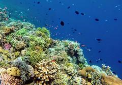 Amazing snorkeling in Bunaken (vic_206) Tags: snorkel snorkeling dive sub bunaken sulawei indonesia underwater goprohero5