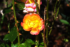 DSC_1035 (PeaTJay) Tags: nikond750 sigma reading lowerearley berkshire macro micro closeups gardens outdoors nature flora fauna plants flowers rose roses rosebuds