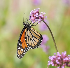 A Delicate Balance (Slow Turning) Tags: danausplexippus monarchbutterfly insect foraging forage feeding nectaring verbena flower blossom summer southernontario canada female