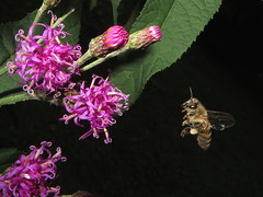 Honey Bee In Flight To A Tall Ironweed Flower IMG_0145 (Ted_Roger_Karson) Tags: northern illinois bee honey flying hand held camera sloitary macro flowers super bumble flower thisisexcellent lens flowerhead yard friends twop bug hd fuji eyes m150 macroscopic pollen animal outdoor insect pollinator plant depth field backyard animals garden butterfly bees canonsx280hs canon powershot sx28 canonpowershotsx280hs northernillinois handheldcamera flyinghoneybee