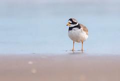 Ringed Plover (Peter Quinn1) Tags: ringedplover wader shore shorebird norfolk thornhampoint northnorfolkcoast northnorfolk thornham titchwell northsea thewash eastsands wetsand
