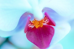 Orchid (G_HOWDEN) Tags: beauty macromondays orchid flower