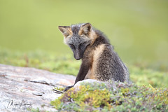 Shy Guy (Megan Lorenz) Tags: crossfox fox redfox melanistic vulpesvulpes foxkit kit babyanimals animal mammal nature wildlife wild wildanimals newfoundland canada mlorenz meganlorenz