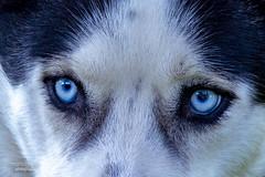 Husky (mariola aga) Tags: husky siberianhusky portrait eyes closeup dog animal coth alittlebeauty coth5