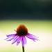 Blossom fom a Echinacea